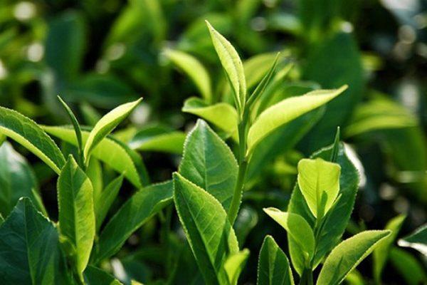 Cách chống rụng tóc bằng trà xanh